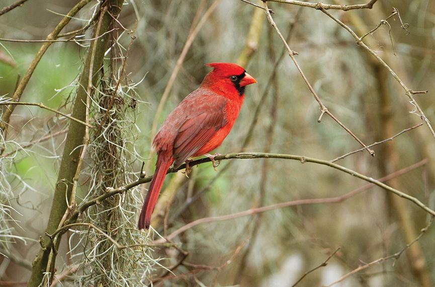 Northern_Cardinal_highlands_nc