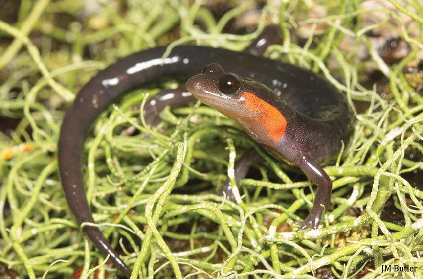 Red_cheeked_salamander_highlands_biological_station