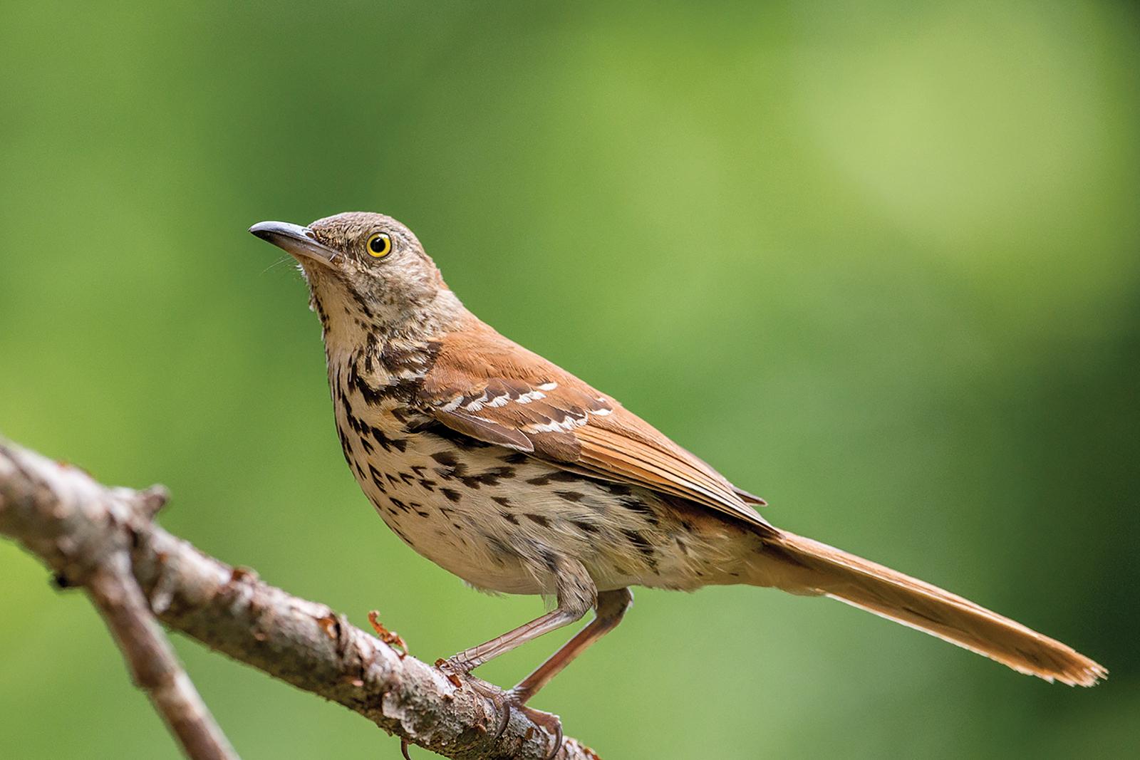 Brown_Thrasher_audubon_society_highlands_nc