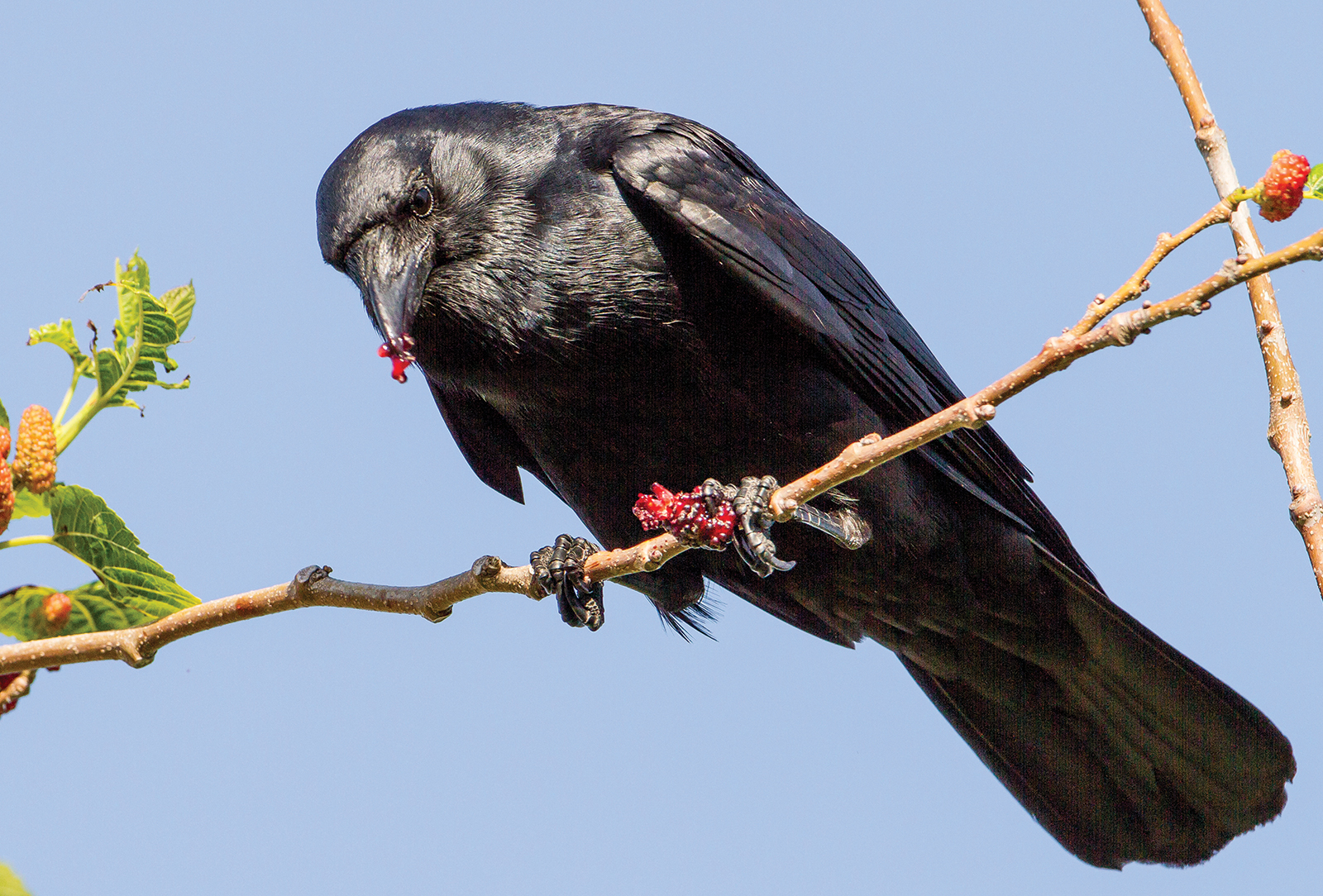 American_Crow-highlands-audubon