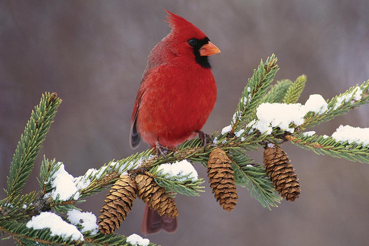 cardinal-in-snow-audubon-society-highlands-nc