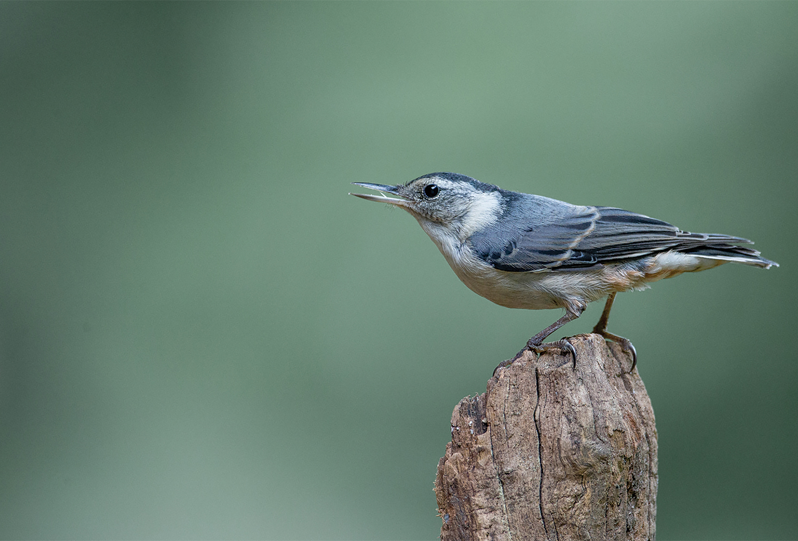 audubon-society-White-breasted-Nuthatch-cashiers-nc