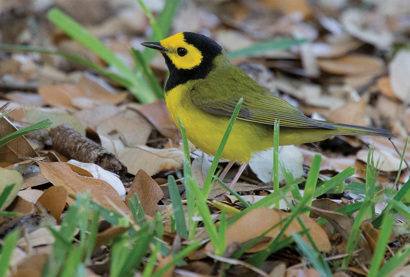 Hooded-Warbler-highlands-audubon-society-nc