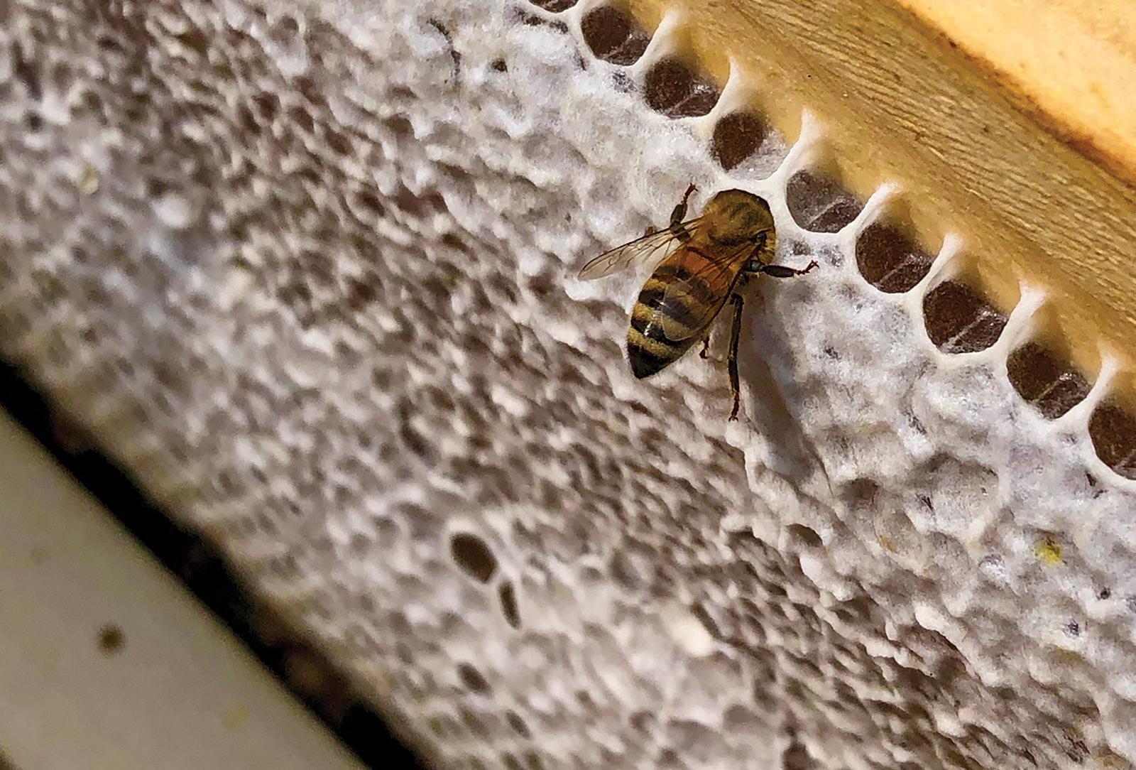 cashiers nc killer bees bee butt