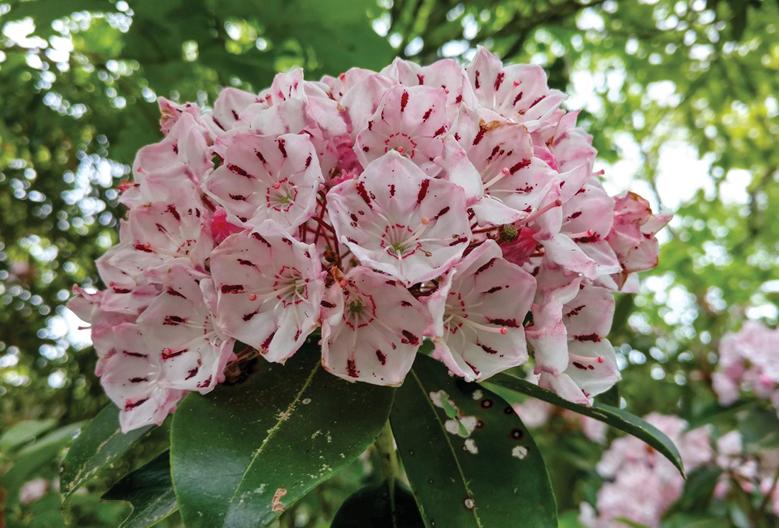highlands cashiers land trust mountain laurel bloom