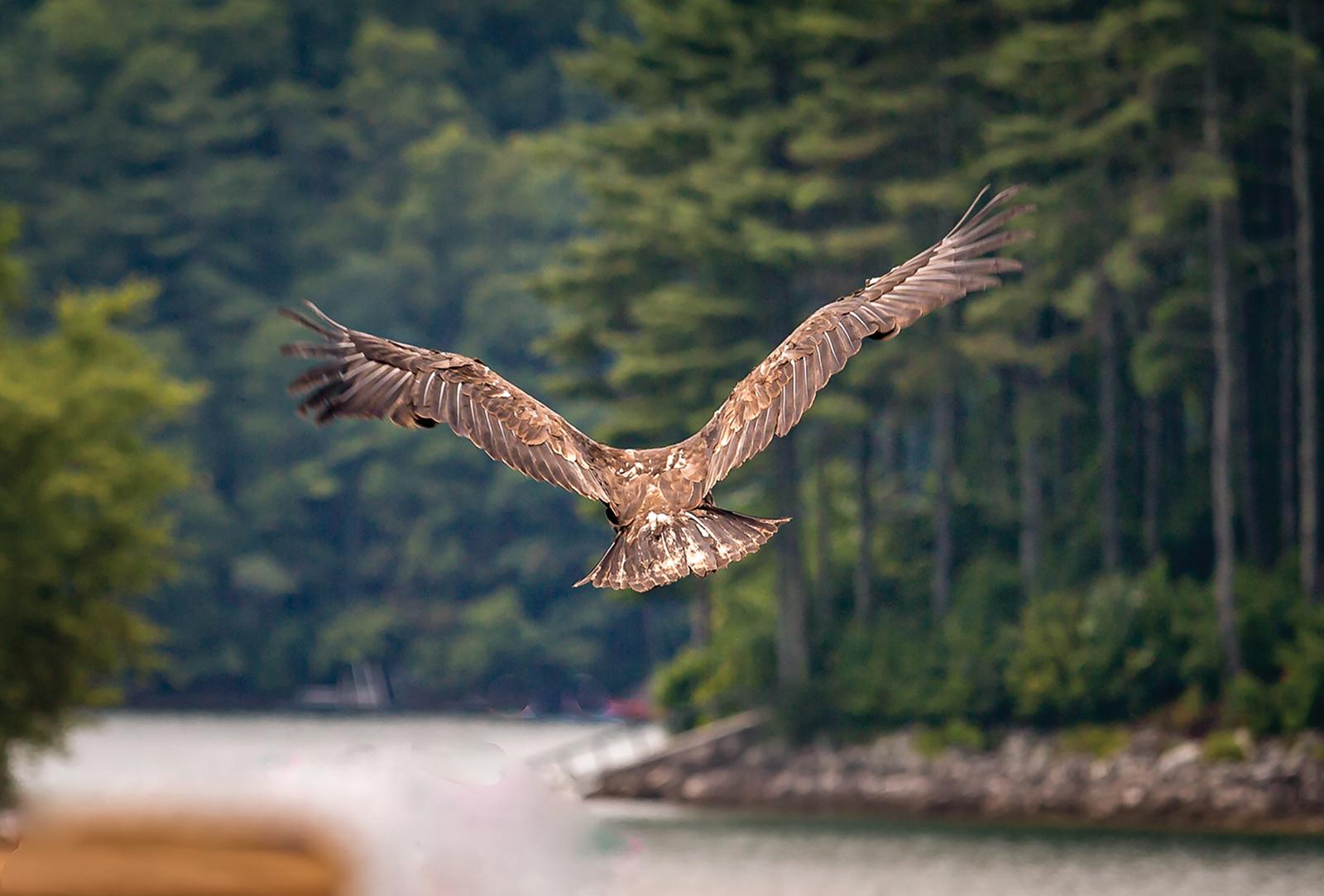 highlands nc cashiers nc village nature series eagle
