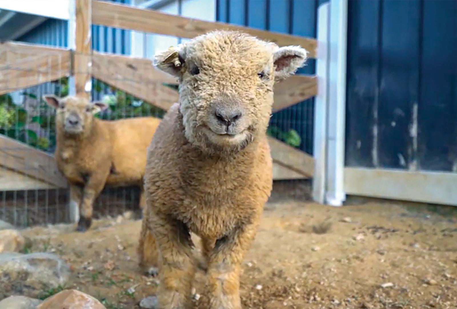 dillard ga julep farms sheep