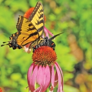 highlands-nc-highlands-nature-center-butterfly