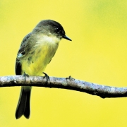 highlands-nc-audubon-society-Eastern-Phoebe