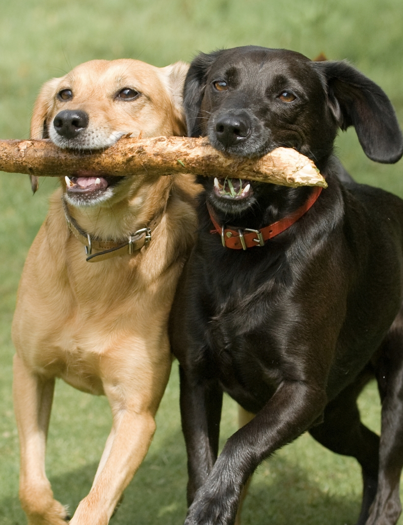 Vision Cashiers Dogs with Sticks
