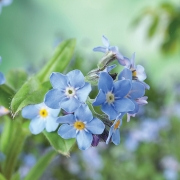 Amazing spring forget-me-not flowers as background, closeup view