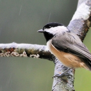 highlands-nc-audubon-society-Chickiadee-Carolina
