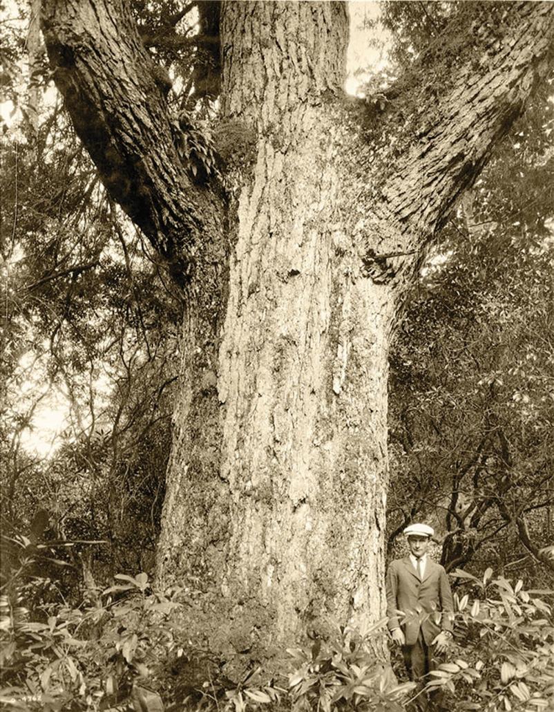 Big Tree #240 (Doris Potts)
