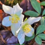 sapphire-nc-Lenten-Rose
