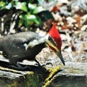 Woodpecker-Pileated
