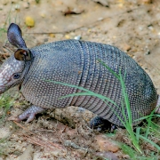 highlands-nc-biological-station-armadillo