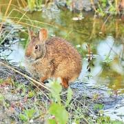 William-McReynolds-Bunny