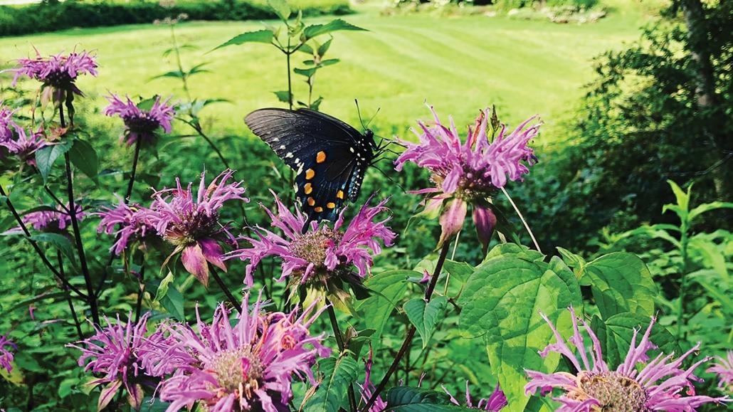 highlands-cashiers-land-trust-butterfly