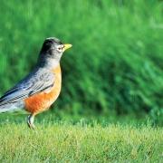 highlands-plateau-american-Robin