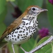Audubon June Wood Thrush