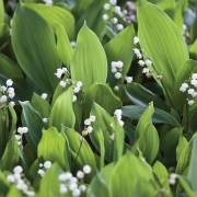 Lily of the valley (Convallaria Majalis) blooming in the garden