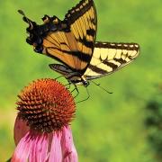 highlands-biological-station-butterfly