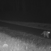 Toxaway-cat-not-panther