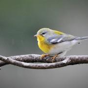 audubon-society-highlands-nc-Northern-Perula