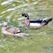 Audubon October Duck, Wood Pair (2) copy