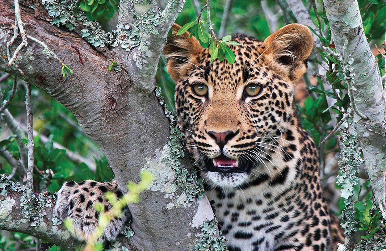 cashiers-nc-africa-awaits-Kwandwe-leopard copy