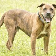 cashiers-nc-cashiers-highlands-humanel-society-dog