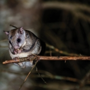 Northern flying squirrel a